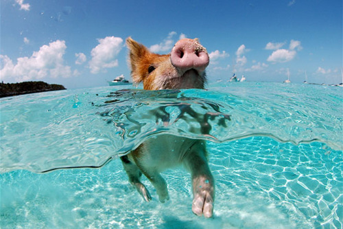 piggy swimming
